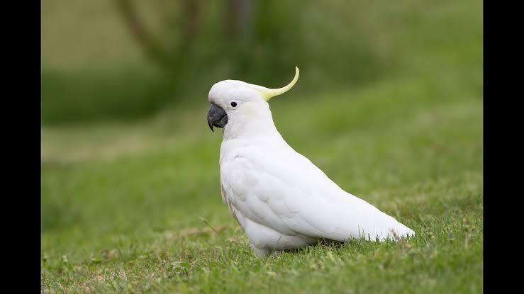 طائر الكاكاتو