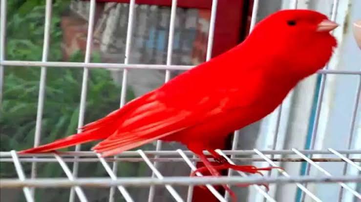 طائر الكنارى