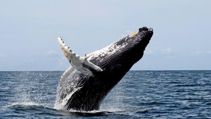 الحيتان الزعنفيه