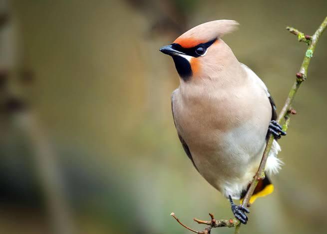 انواع طيور الزينه بالصور والمعلومات