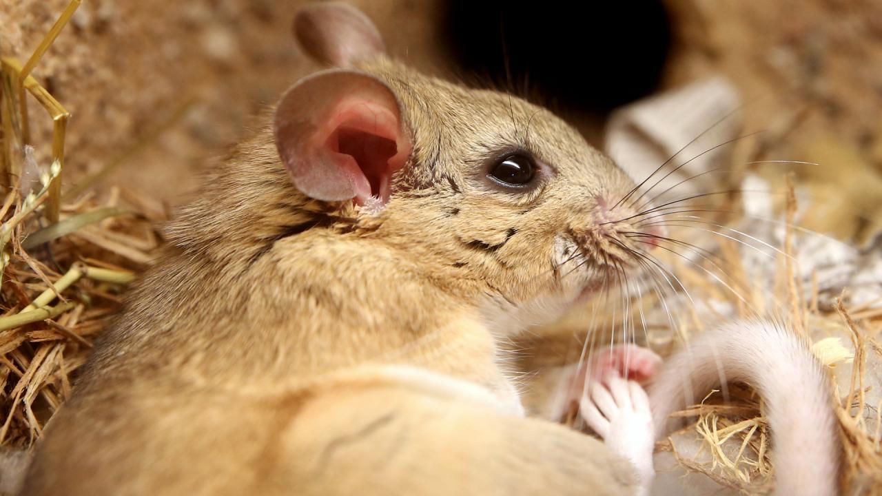9 - جيروذ او فأر ابيض الحنجرة