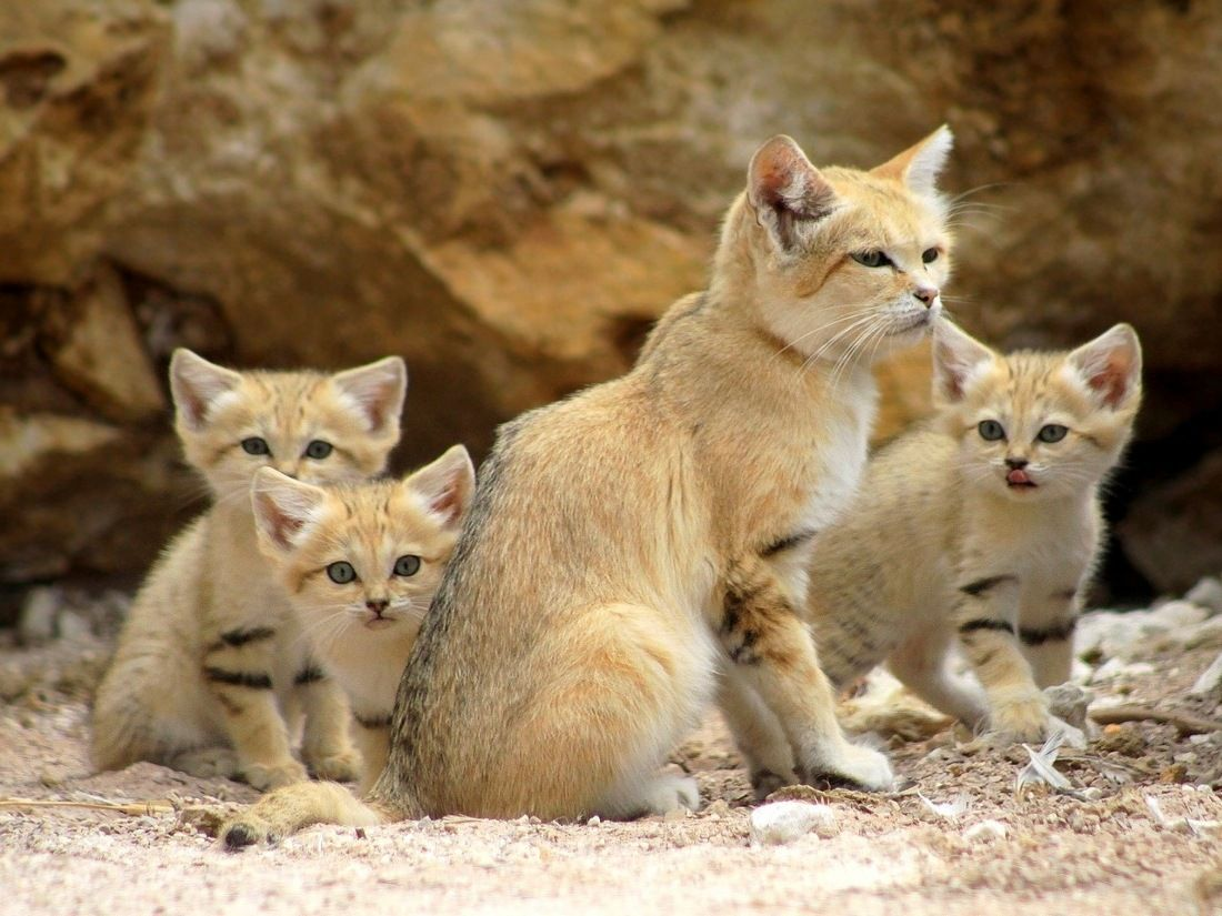 قطط الرمل (فيليس مارغريتا هاريسون)