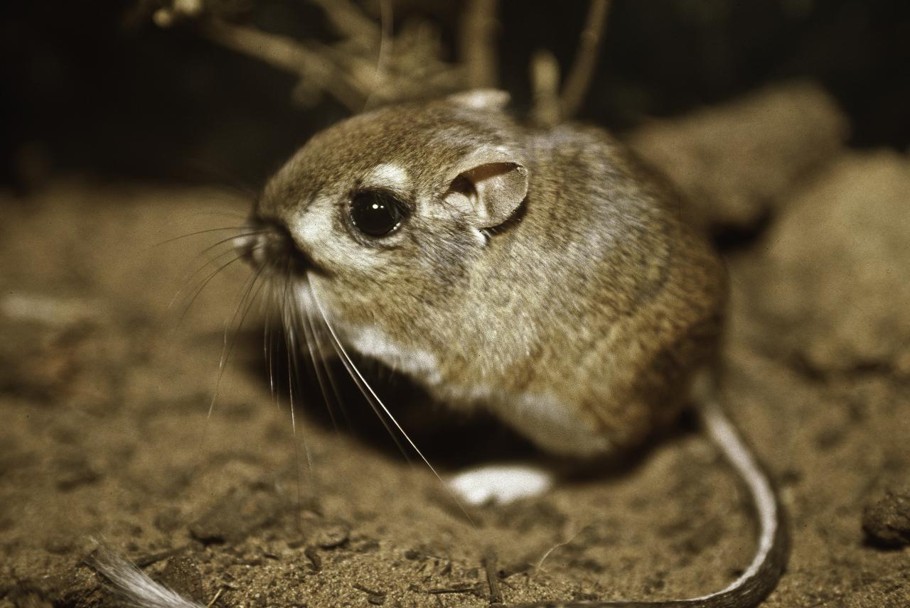 فأر الكنغر او  الجرذ الكنغري
