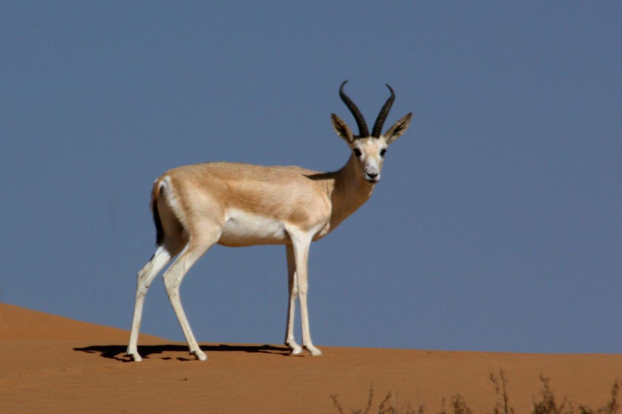 4 -  غزال الرمال العربية أو الريم