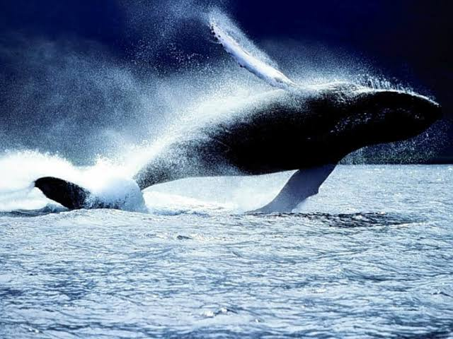 أنواع الحيتان بالصور