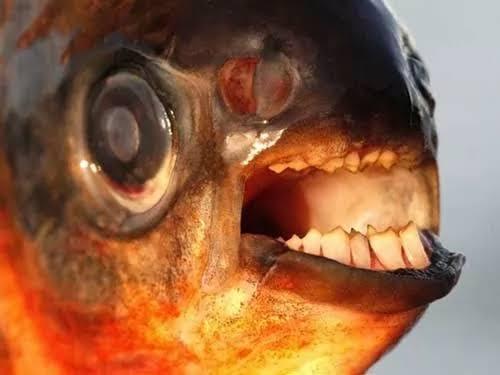 اسماك الباكو