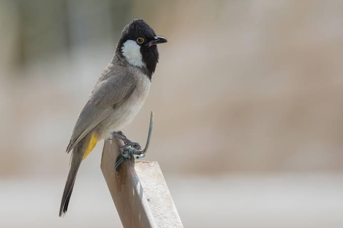 طيور البلبل