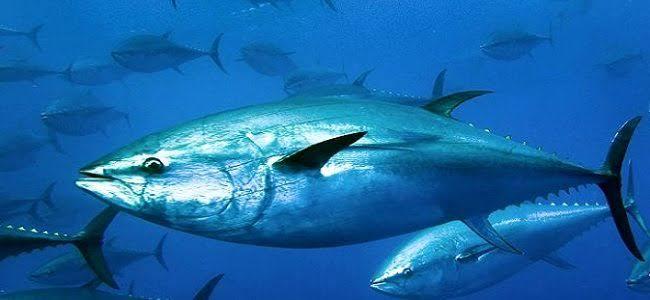 اسماك التونه
