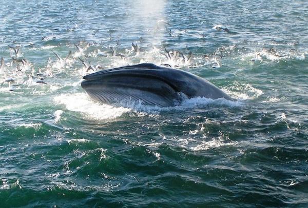 الحوت البريدى