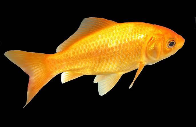 الاسماك الذهبيه