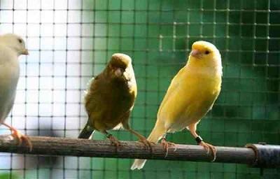 عصافير الرولر