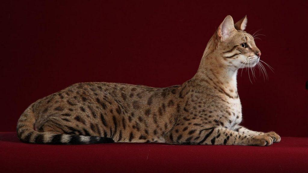 قط السافانا