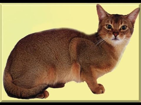 القط الحبشى