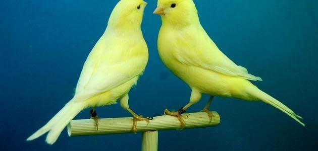 طيور الكنارى