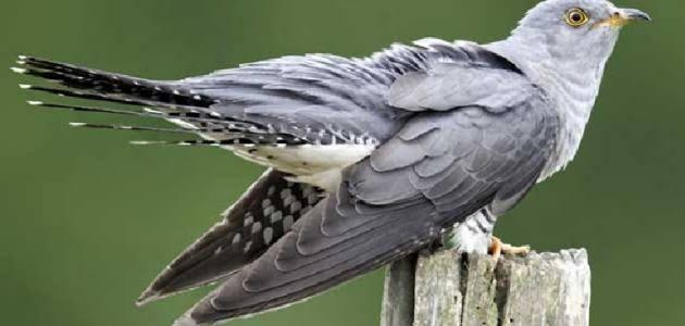 عصافير الوقواق