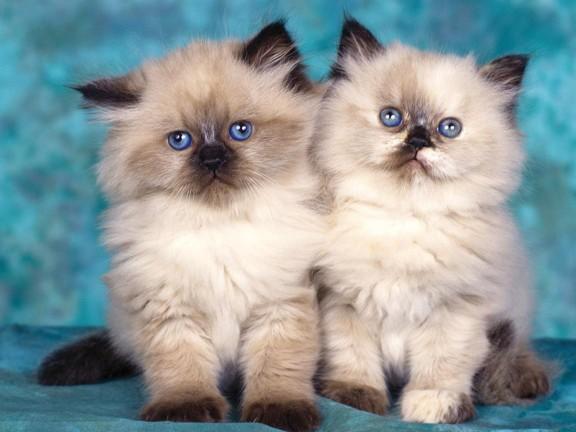 انواع القطط وخصائصها