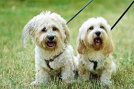 كلاب بولونيز