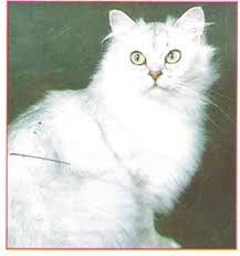 قطط تيفانى