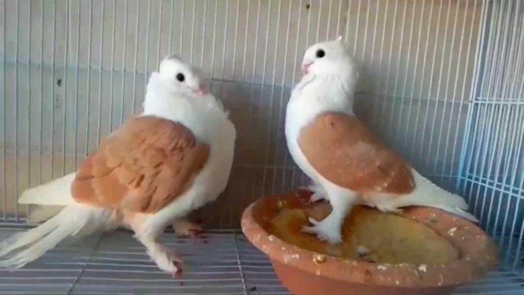 حمام الحب