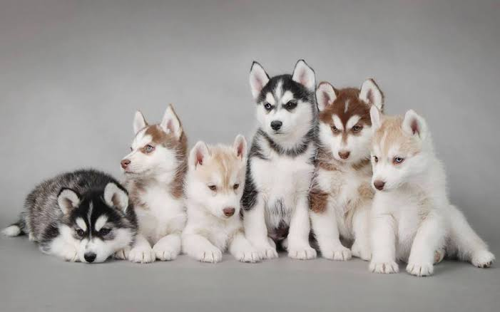 بالصور كلاب هاسكى اصلى وشرسه وصغار وبيور وطعامهم كل المعلومات طبيعة
