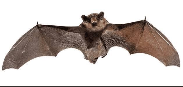 طائر الخفاش