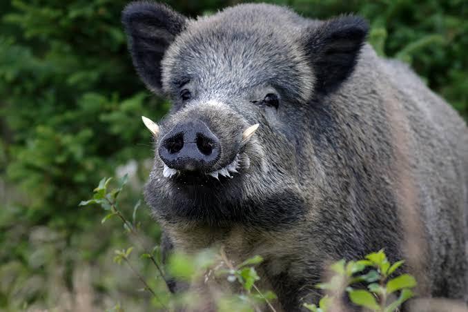 حيوان الخنزير البرى