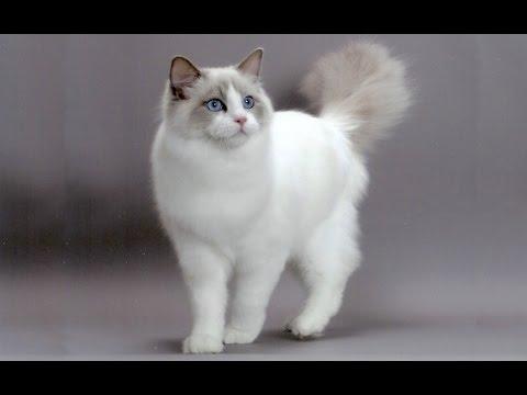قطط راجدول
