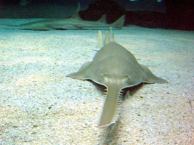 اسماك المنشار