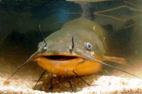 اسماك السلور