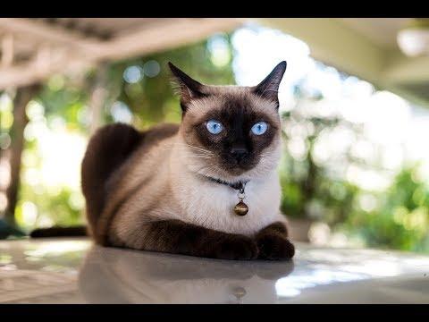 القط السيامى