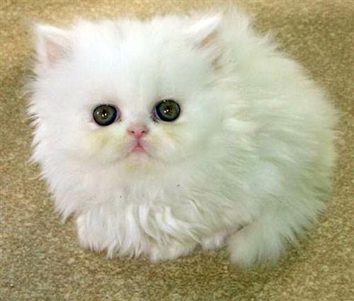القط الشيرازى