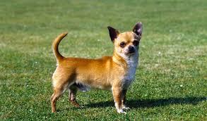 كلب الشيواوا