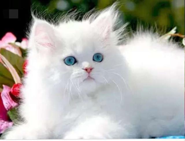 صورة قط الشبرازى