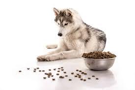 بالصور كلاب هاسكى اصلى وشرسه وصغار وبيور وطعامهم كل المعلومات • طبيعة