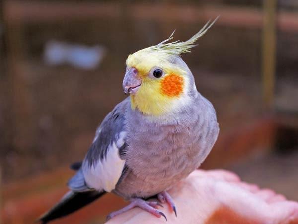طائر الكوكاتيل