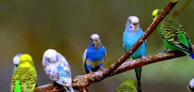 طيور العصافير