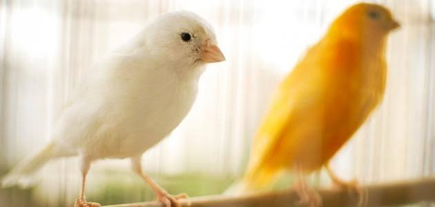 تكاثر عصافير الكنارى