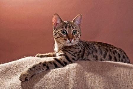 قطط الماو المصريه