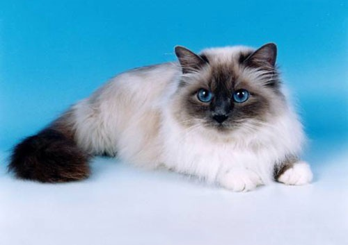 قط البيرمان