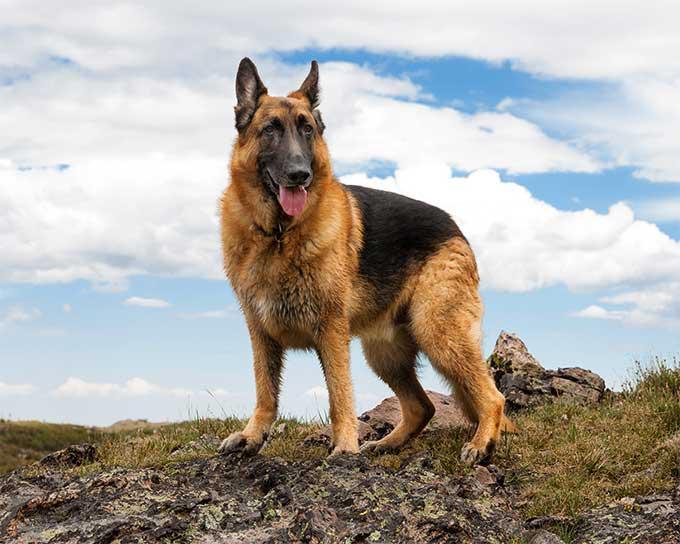 كلب الراعى الالمانى