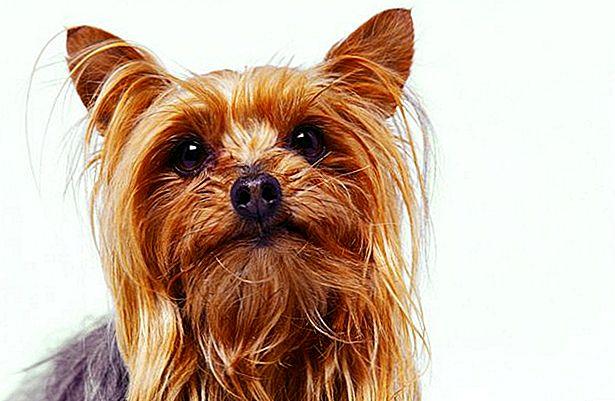 كلب يوركشاير