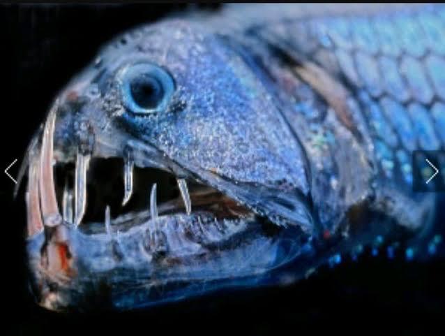 أسماك مصاص الدماء