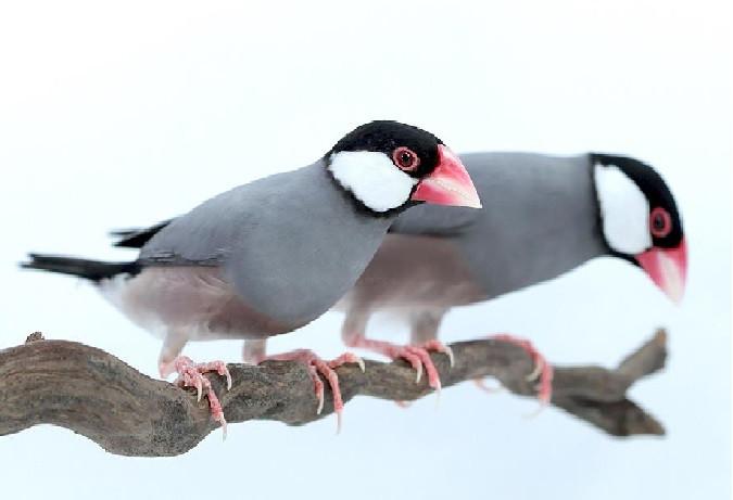 عصافير الجاوا