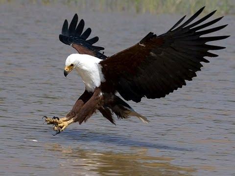 طائر النسر