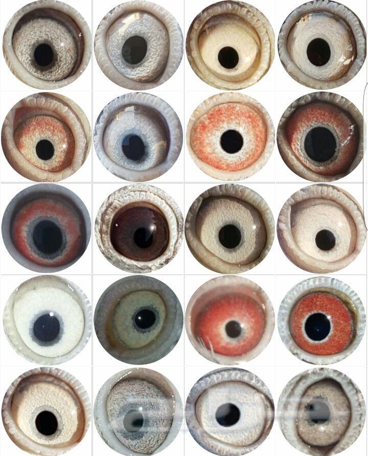 عيون حمام