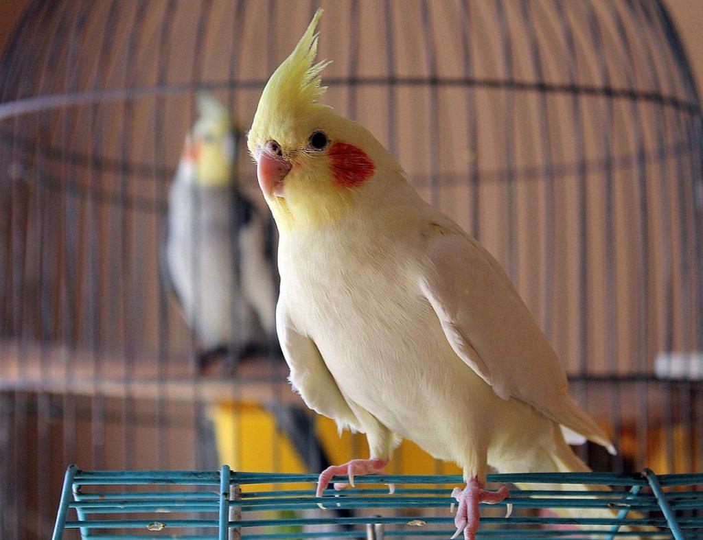 طيور البغبغاء الصغيره