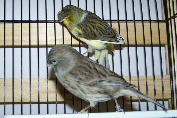 عصافير الجلوستر