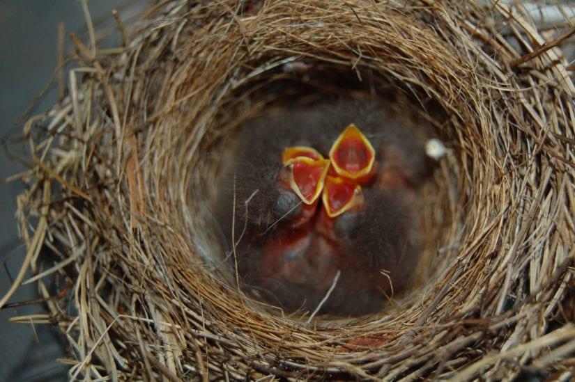 عش عصافير الحب