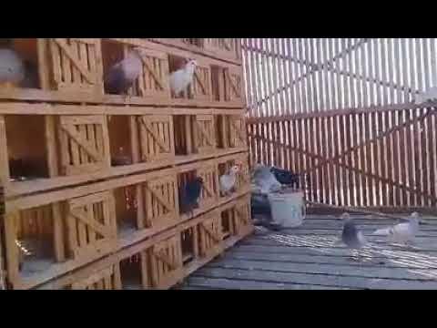 أقفاص (سلكات ) الحمام الخشبية