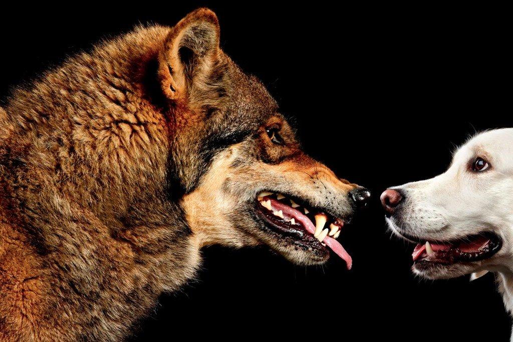 الذئاب آكلات الكلاب